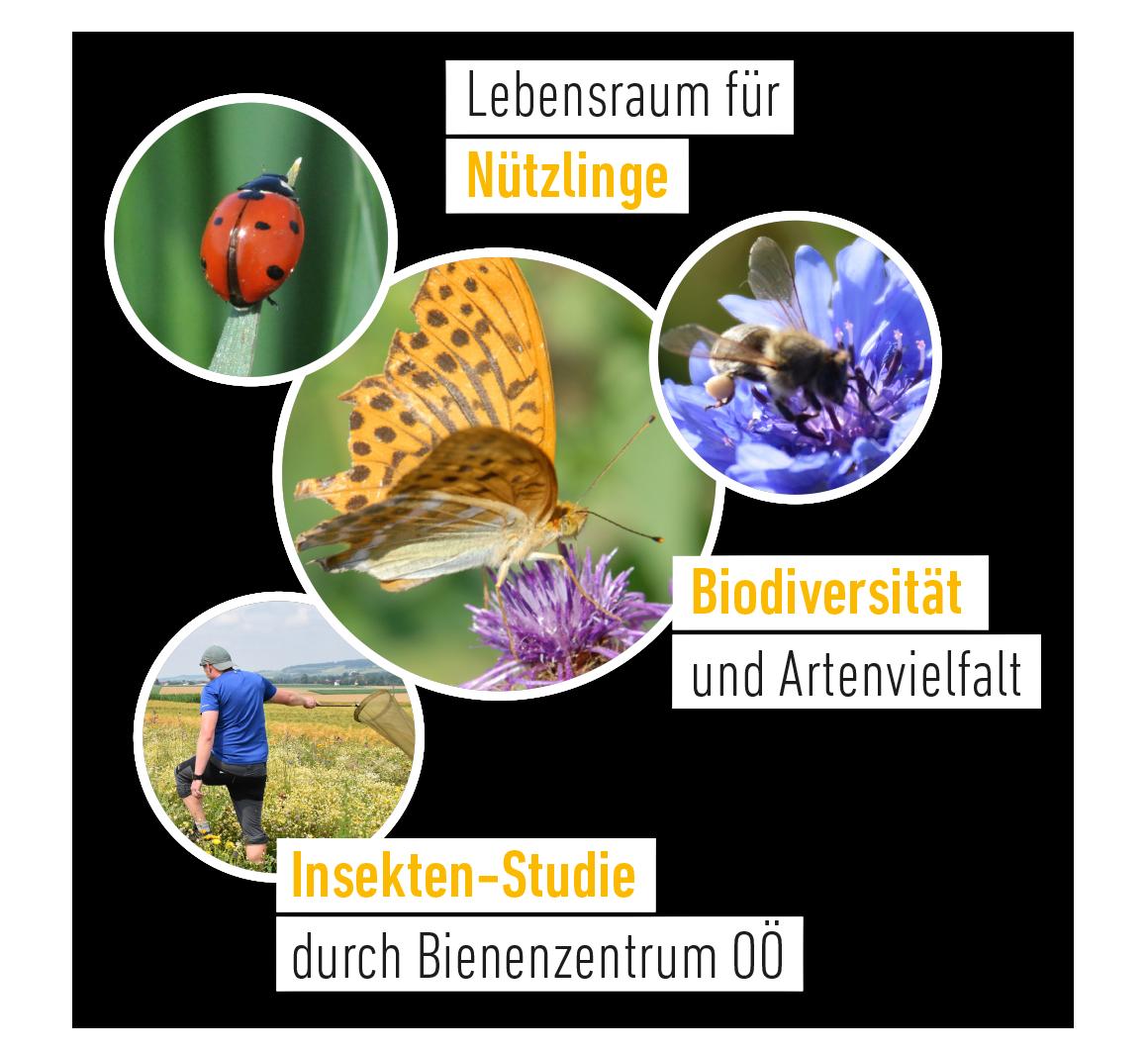 Blumenkorn Lebensraum für Nützlinge, Biodiversität und Artenvielfalt